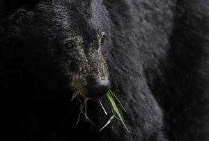 black-bear-1972228_1920